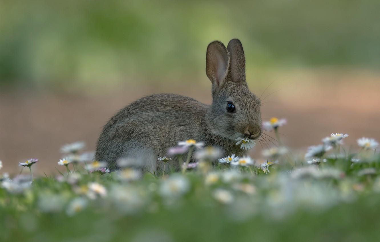 Photo wallpaper grass, hare, chamomile, meadow, bokeh