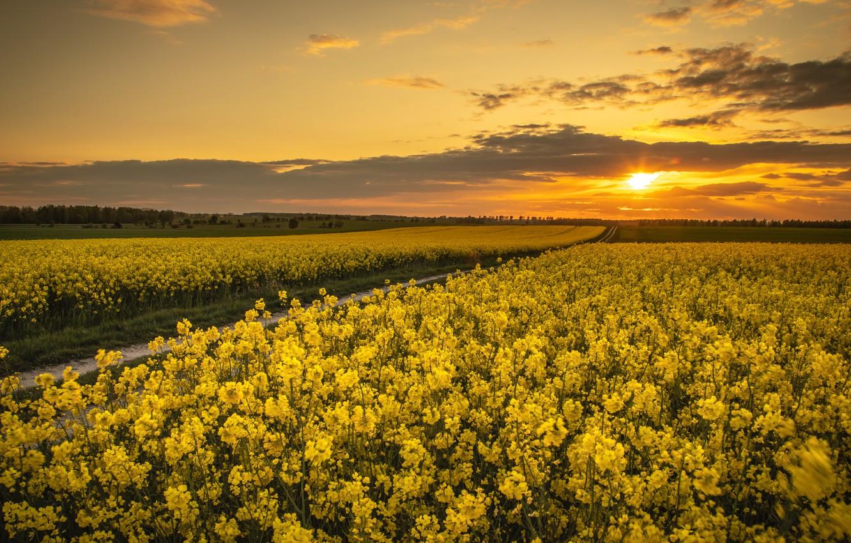 Photo wallpaper sunset, spring, rape