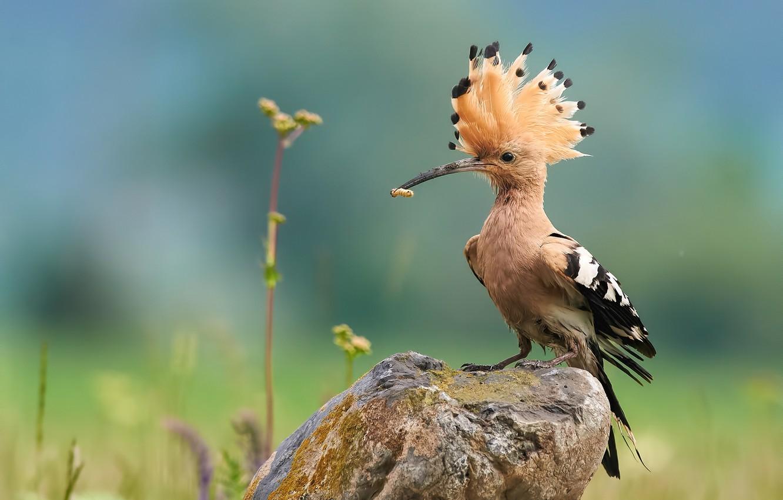 Photo wallpaper nature, bird, stone, hoopoe, Kalin Botev