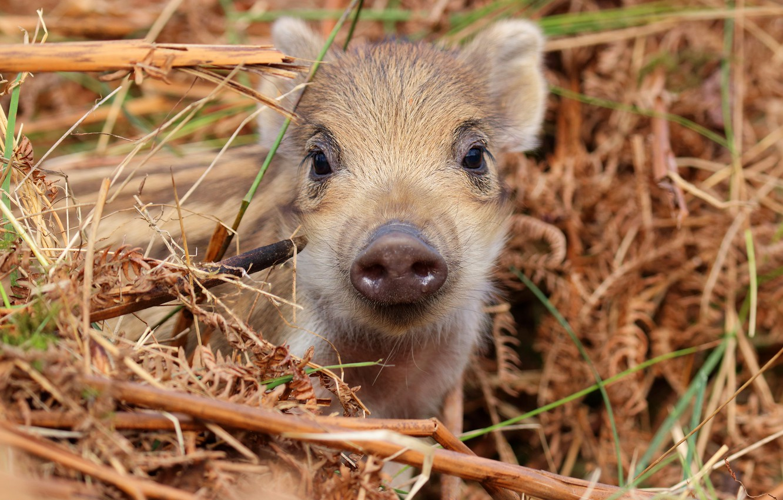 Photo wallpaper look, face, baby, hay, straw, boar, cub, hog, pig, pig, piggy