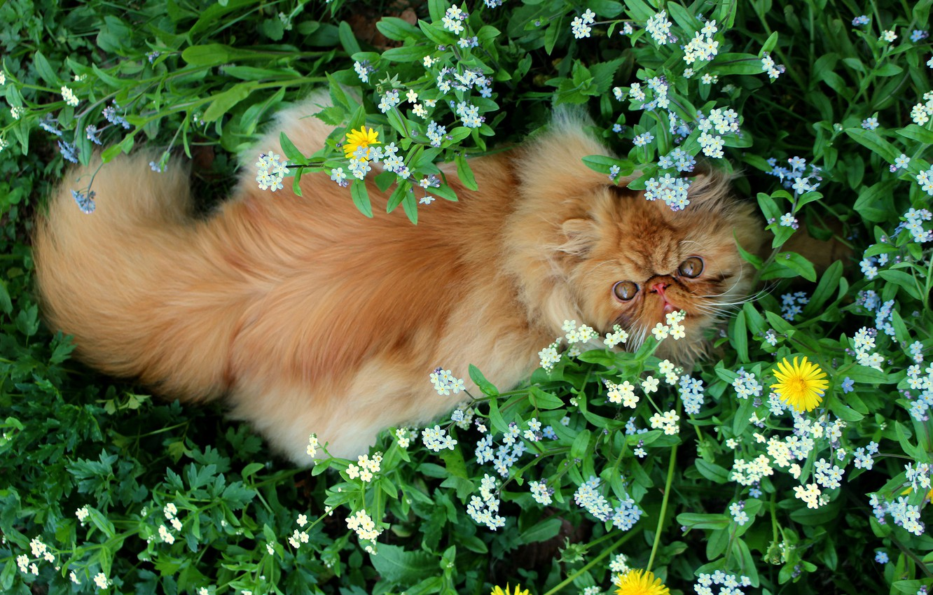 Photo wallpaper greens, cat, cat, look, face, leaves, flowers, nature, pose, stay, glade, back, fluffy, garden, red, …