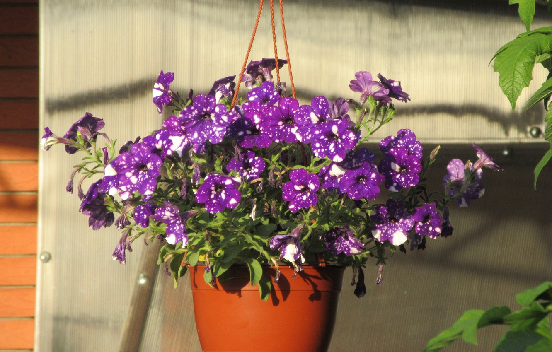 Photo wallpaper Flowers, Summer, Pot, Purple, Petunias, Meduzanol ©, Pockmarked