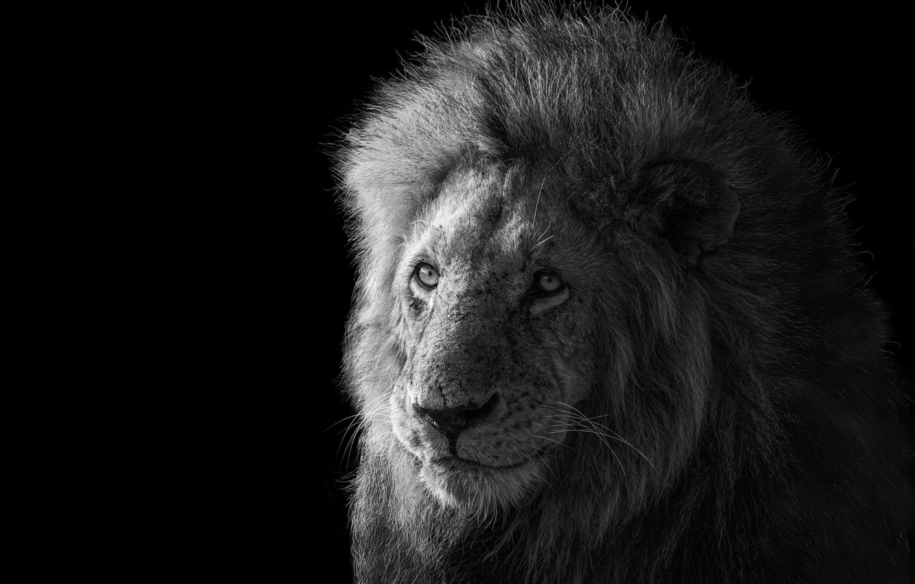 Photo wallpaper Leo, the king of beasts, Lion, king of the animals, James Cai