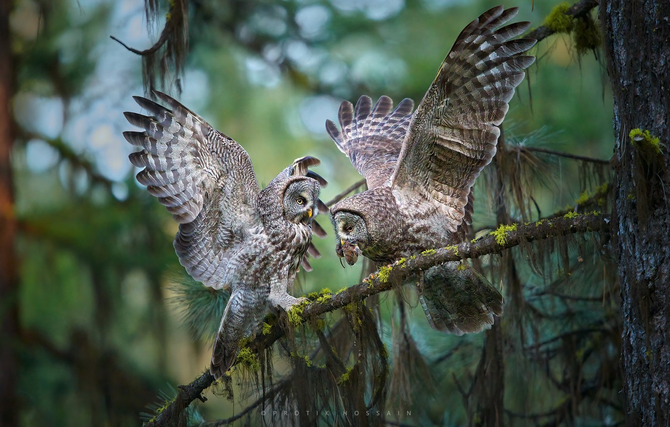 Photo wallpaper birds, branches, tree, wings, owls, Great grey owl