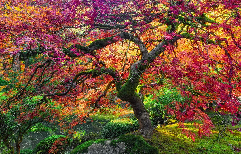 Wallpaper Autumn Tree Giant Maple Images For Desktop