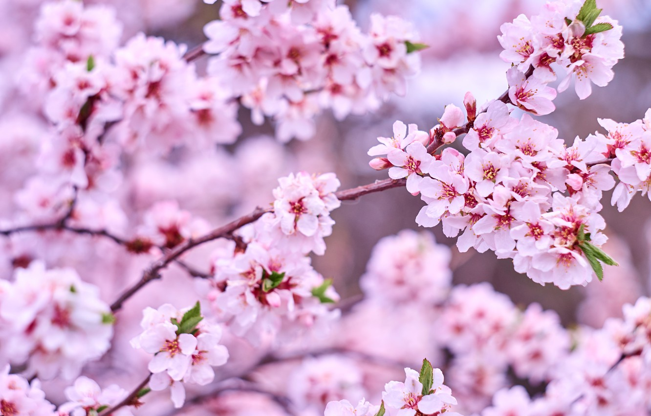 Photo wallpaper flowers, branches, nature, tree, spring, garden, pink
