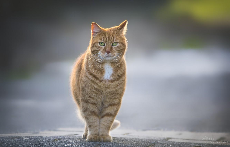 Photo wallpaper walk, red cat, asphalt road