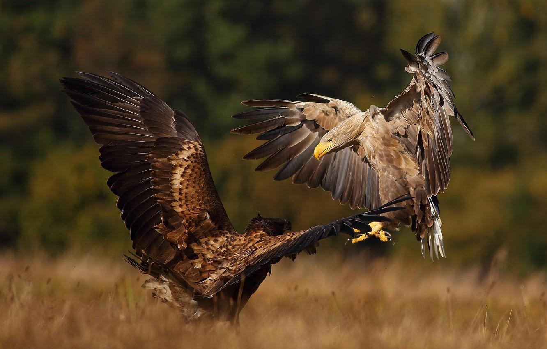 Photo wallpaper autumn, birds, nature, predators, pair, the eagles, showdown, Lukasz Sokol
