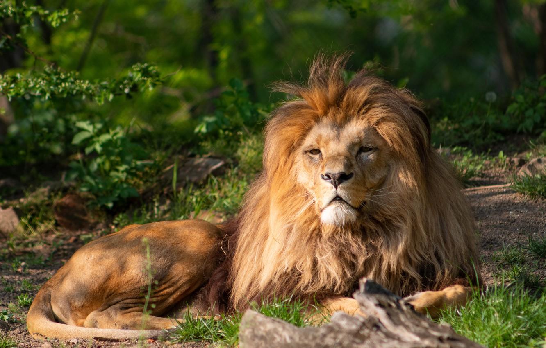 Photo wallpaper look, nature, predator, Leo, mane, resting, big cat