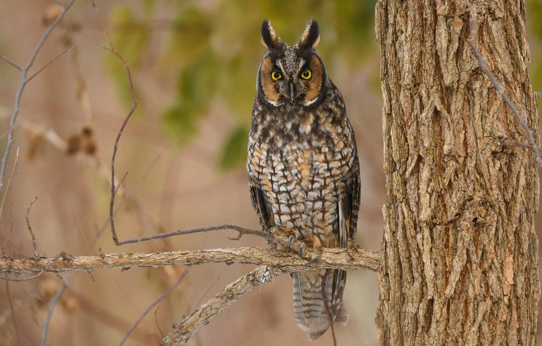 Photo wallpaper look, owl, bird, branch, long-eared owl, long-eared owl