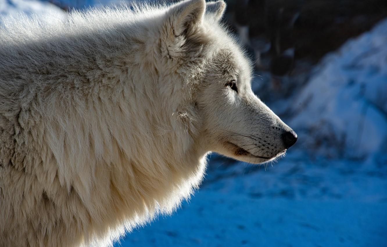 Photo wallpaper face, wolf, profile