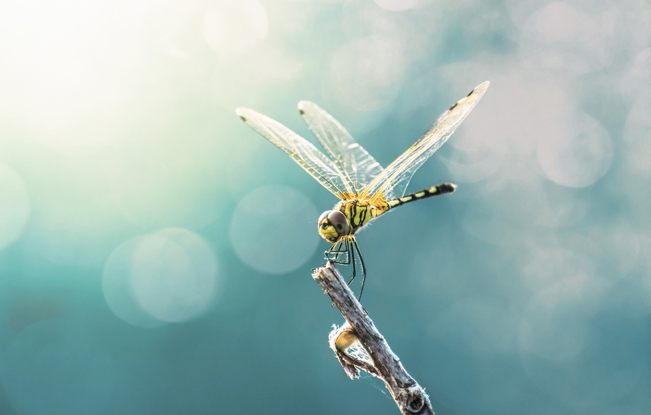 Photo wallpaper wings, dragonfly, insect
