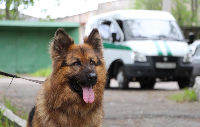 Photo wallpaper shepherd, training, trained, canine