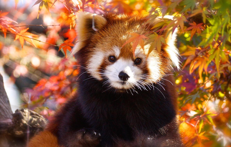 Wallpaper Autumn Look Face Leaves Light Portrait Red Panda Cutie Red Panda Images For Desktop Section Zhivotnye Download