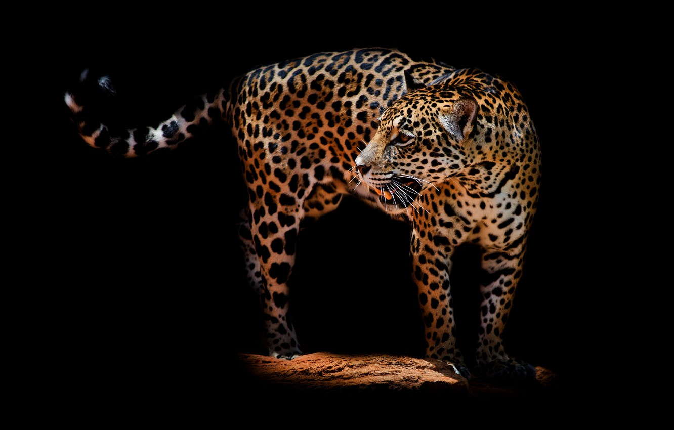 Photo wallpaper look, face, pose, darkness, back, mouth, leopard, tail, fangs, is, black background, aggression, wild cat, …