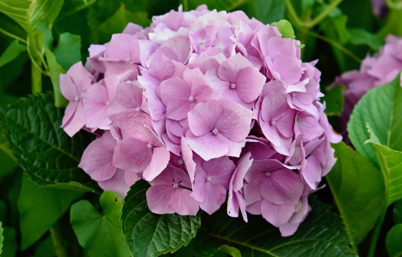 Photo wallpaper summer, leaves, macro, flowers, petals, pink, flowering, inflorescence, hydrangea