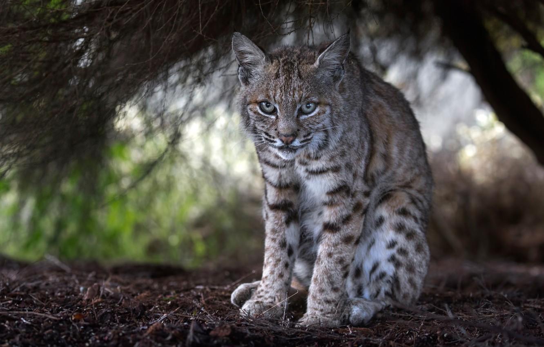 Photo wallpaper look, lynx, wild cat, under the tree