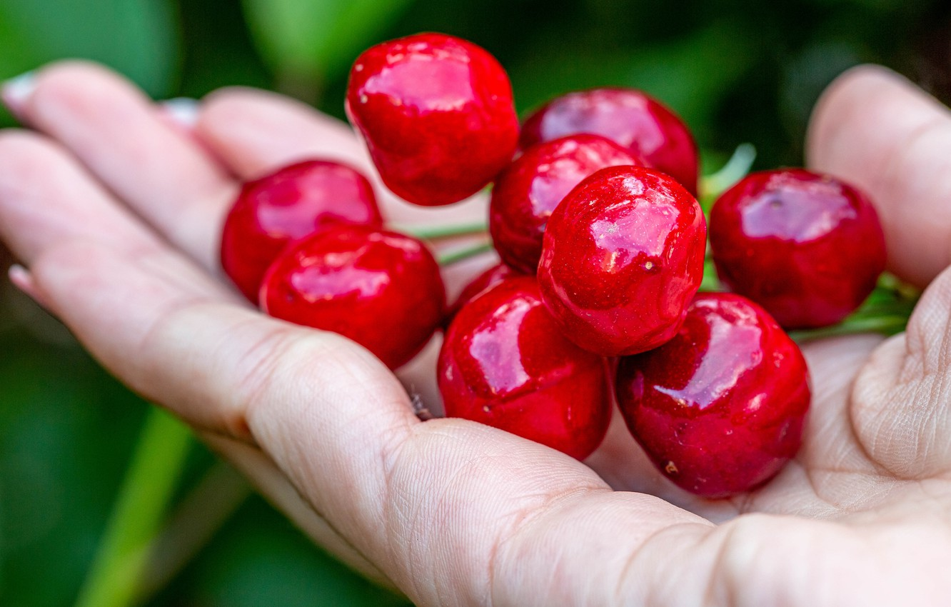 Photo wallpaper summer, cherry, berries, Shine, hand, harvest, bunch, red, fingers, palm, nails, green background, cherry, ripe, …