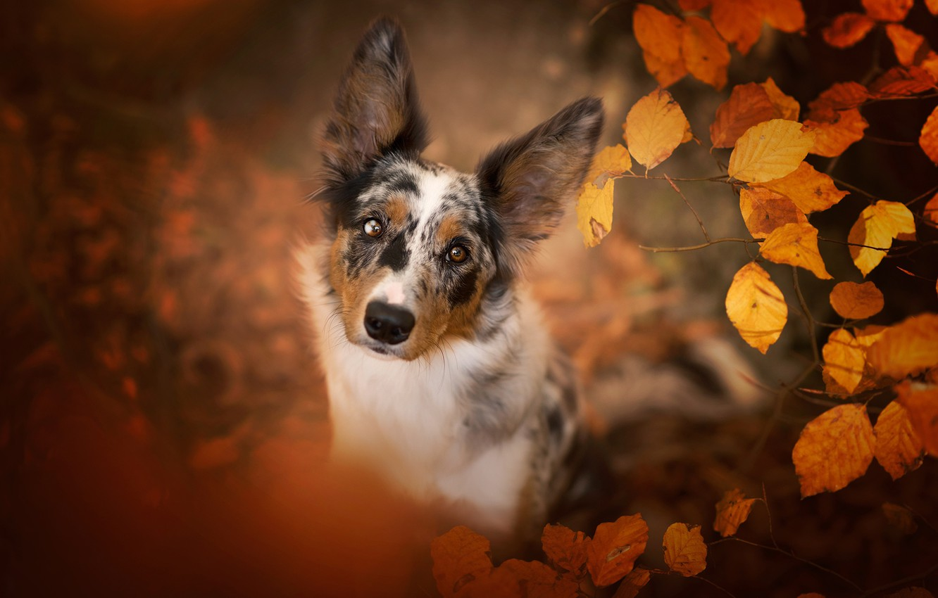 Photo wallpaper autumn, look, face, leaves, nature, portrait, dog, view, the border collie, spotted