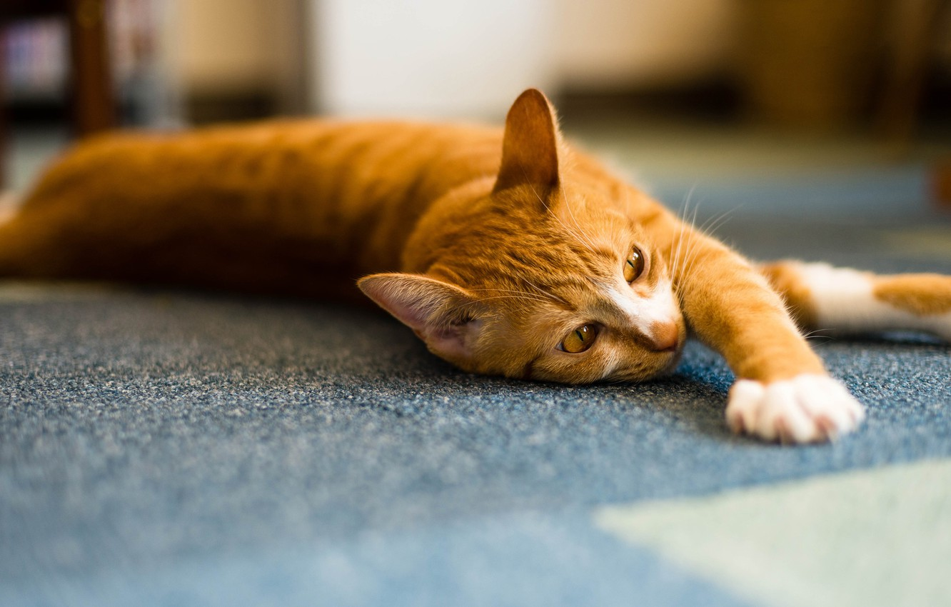 Photo wallpaper cat, cat, face, light, pose, background, room, paws, red, floor, striped, handsome, blurred, stretching, Palace, …