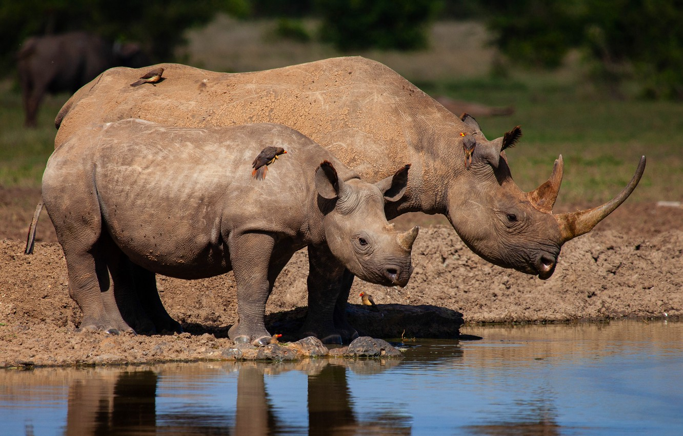 Photo wallpaper water, birds, nature, river, shore, baby, pair, Africa, Rhino, cub, mom, two, pond, the water, …
