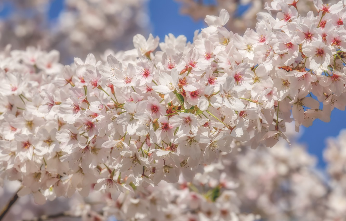 Photo wallpaper cherry, spring, white, flowering, blossom, flowers, beautiful, macro, cherry, spring, bloom