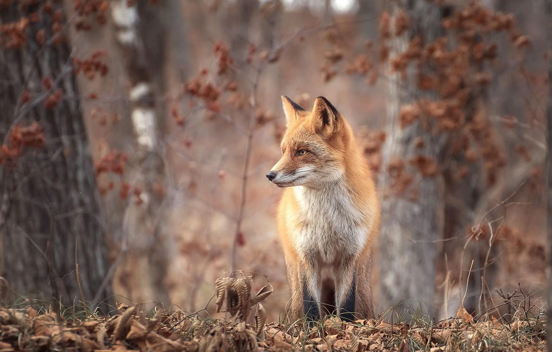 Photo wallpaper autumn, forest, grass, trees, nature, animal, foliage, Fox, Fox