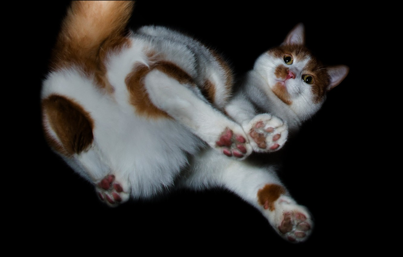 Photo wallpaper cat, erotic, look, pose, creative, paws, wool, spot, tail, lies, white, black background, red, face, …