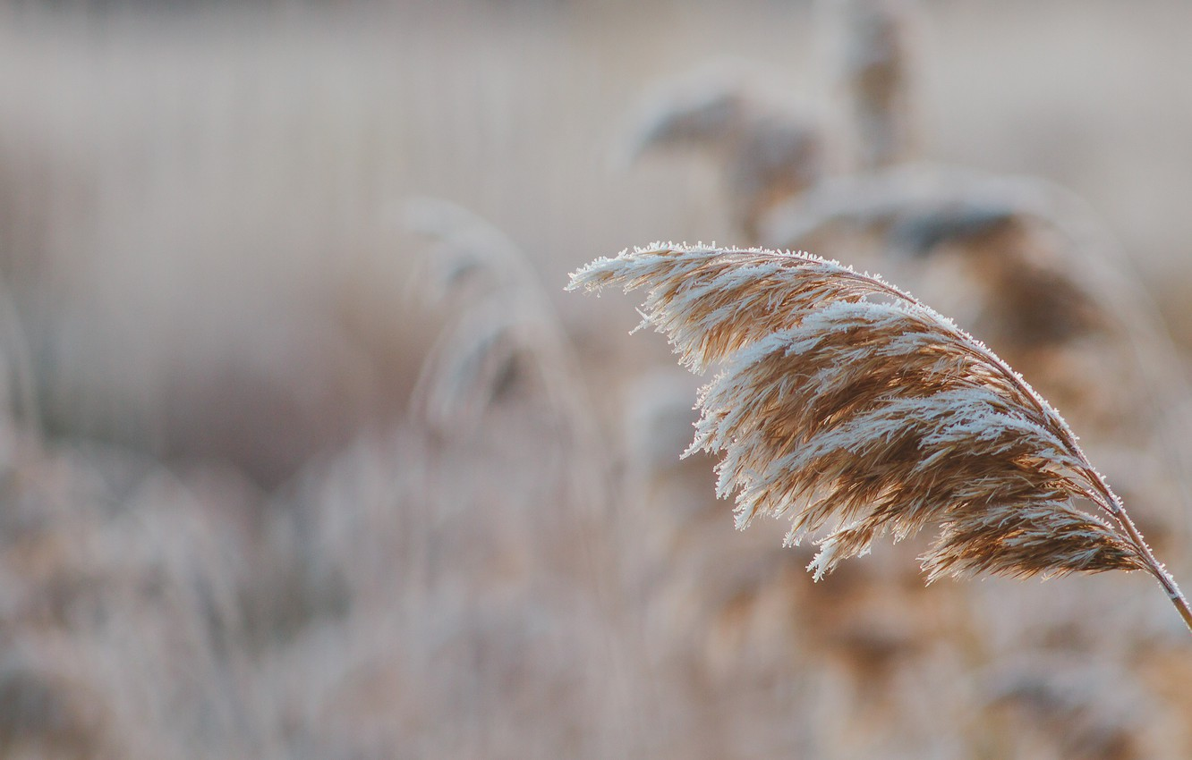 Photo wallpaper cold, winter, frost, grass, snow, dawn, frost