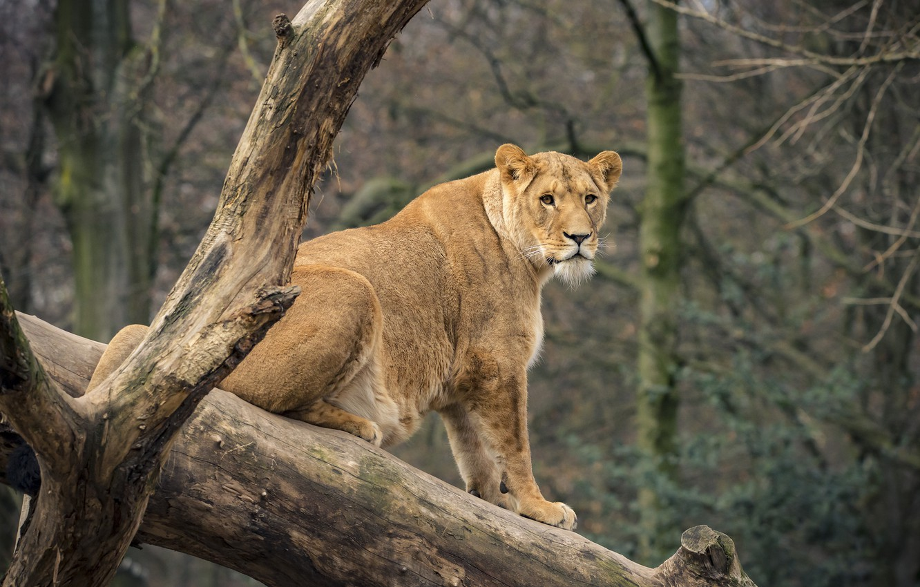 Photo wallpaper look, nature, tree, lioness