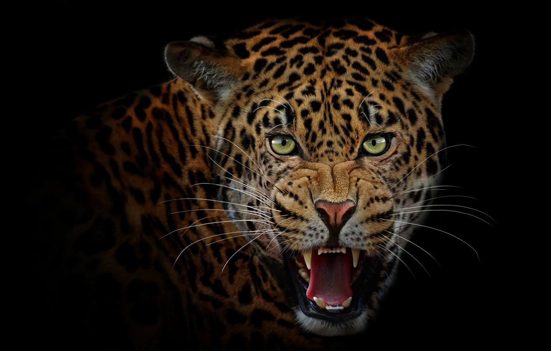 Photo wallpaper language, look, face, portrait, predator, mouth, leopard, fangs, grin, evil, Jaguar, black background, wild cat