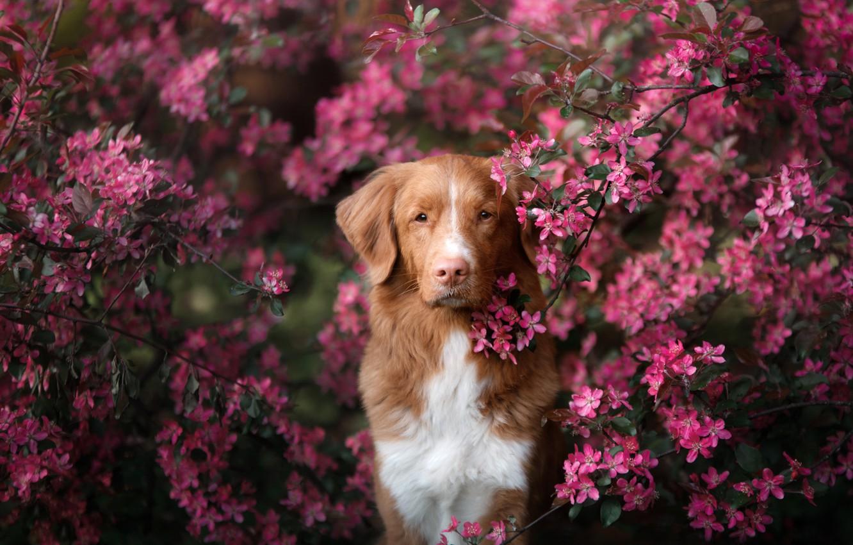 Photo wallpaper look, branches, tree, portrait, dog, spring, flowering, flowers, Nova Scotia duck tolling Retriever