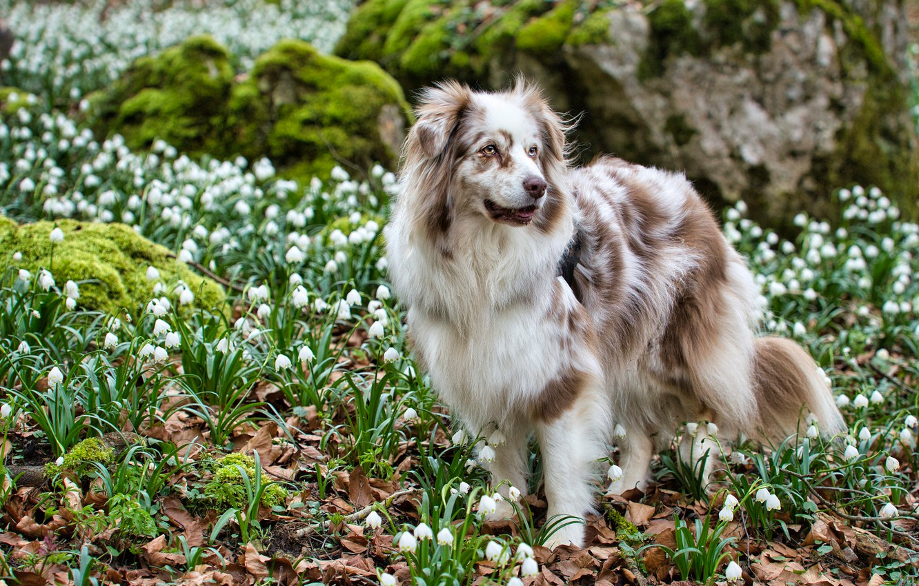 Photo wallpaper look, face, leaves, flowers, nature, pose, stones, glade, moss, dog, spring, snowdrops, is, white, a …