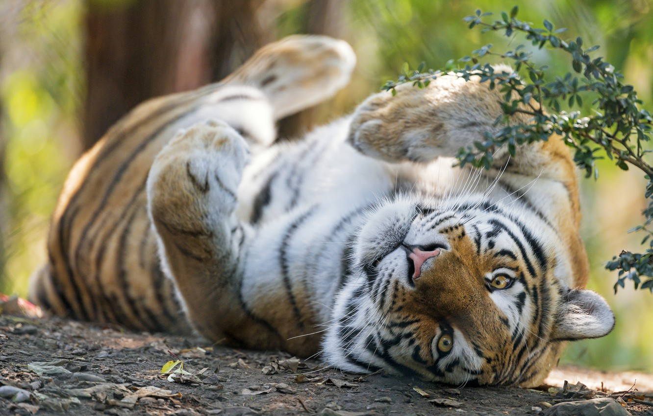 Photo wallpaper look, face, branches, tiger, pose, stay, paws, lies, bokeh