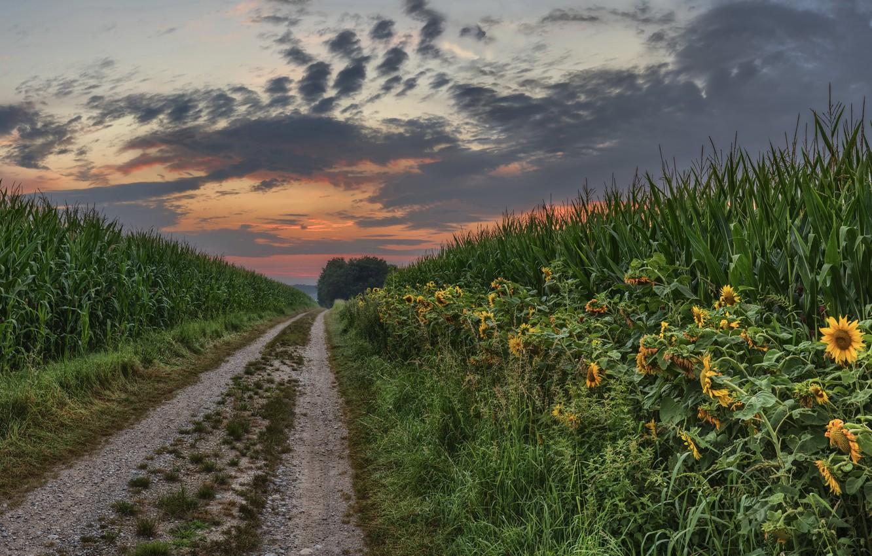 Photo wallpaper summer, sunset, nature, sunflower, corn