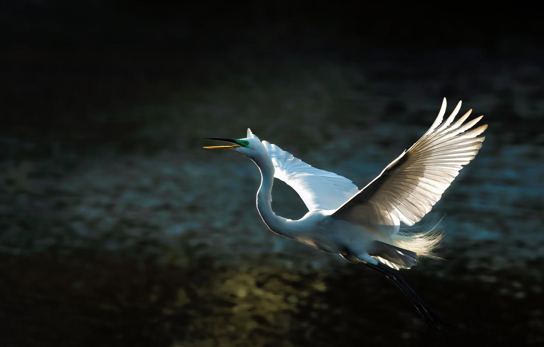 Photo wallpaper light, flight, the dark background, bird, wings, feathers, white, Heron, the scope