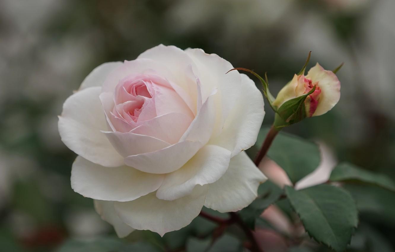 Photo wallpaper close-up, rose, petals, Bud, bokeh