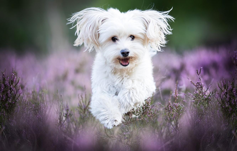 Photo wallpaper dog, running, white, lapdog, Heather