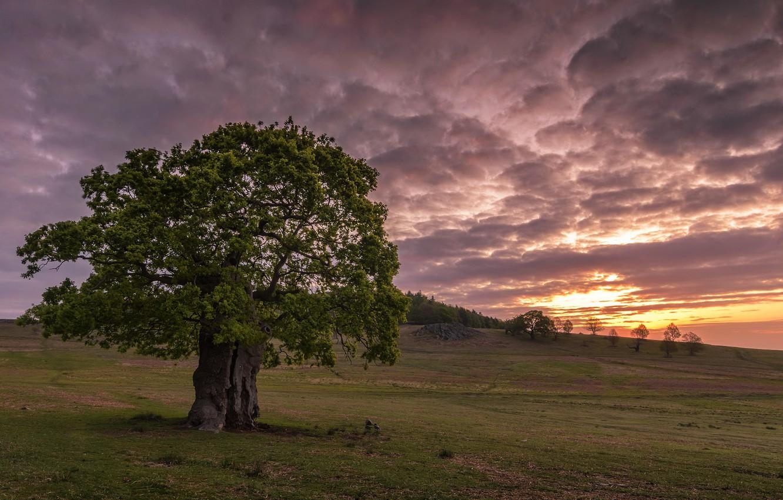 Photo wallpaper field, sunset, tree