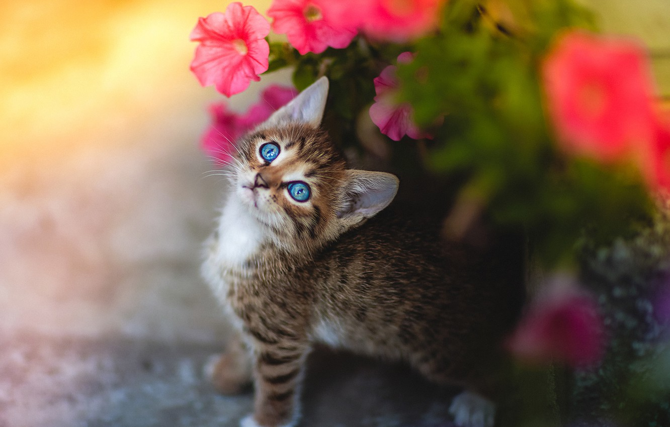 Photo wallpaper look, flowers, baby, muzzle, kitty, Petunia, blue eyes
