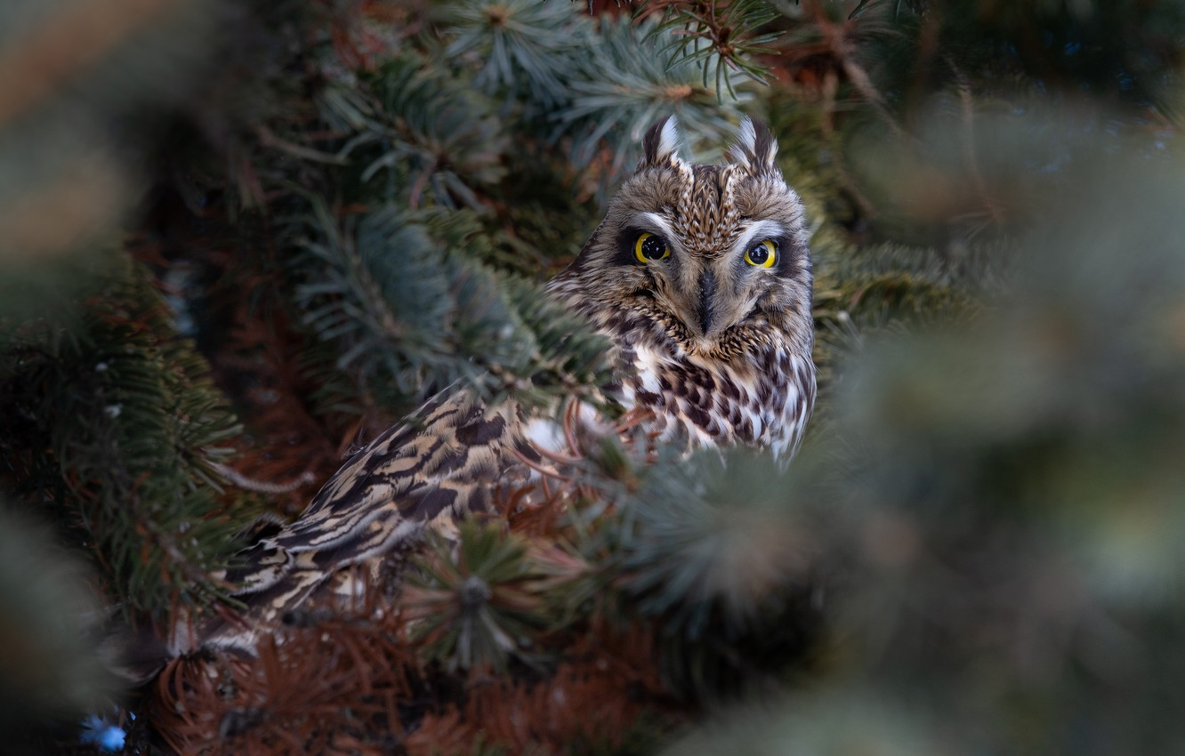 Photo wallpaper branches, owl, bird, Short-eared owl