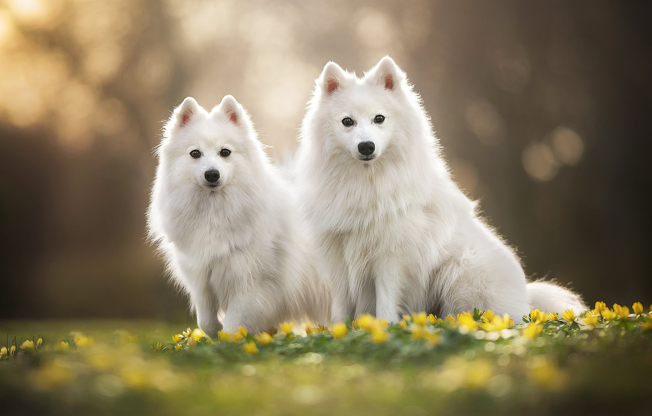 Wallpaper Flowers A Couple Bokeh Two Dogs The Japanese Spitz Images For Desktop Section Sobaki Download