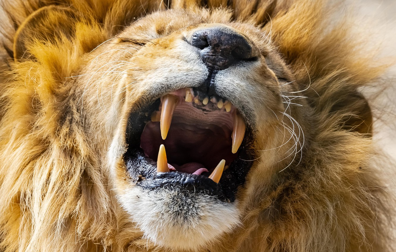 Photo wallpaper face, Leo, mouth, mane, the king of beasts, fangs, grin, wild cat