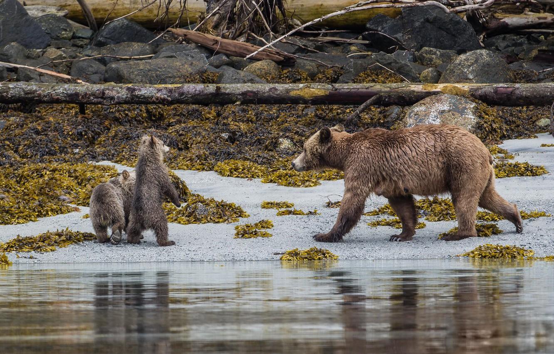 Photo wallpaper Beach, Grizzly, Bears