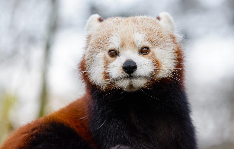 Photo wallpaper winter, look, red Panda, animal