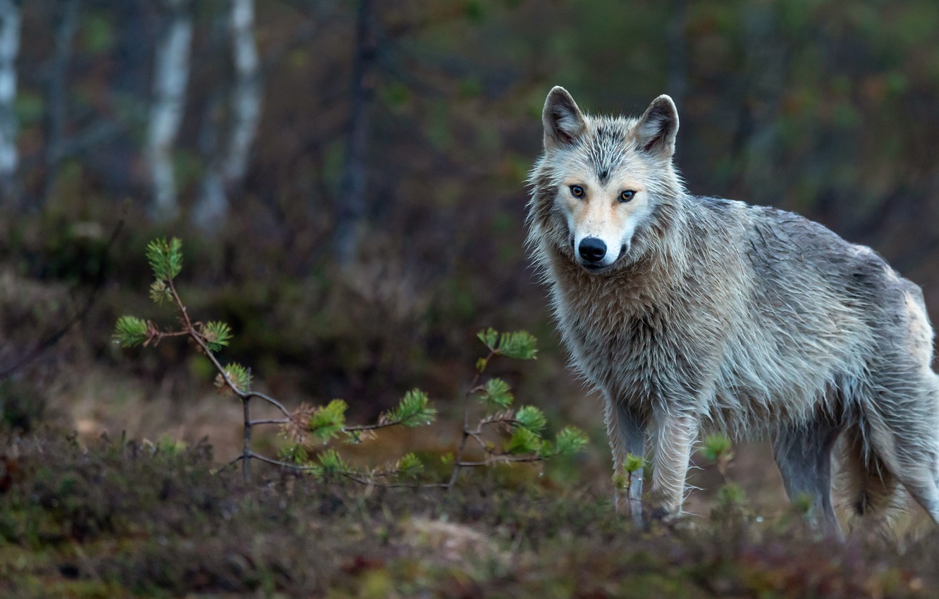 Photo wallpaper autumn, forest, look, branches, nature, pose, grey, background, wolf, cute, needles, young, bokeh, blurred