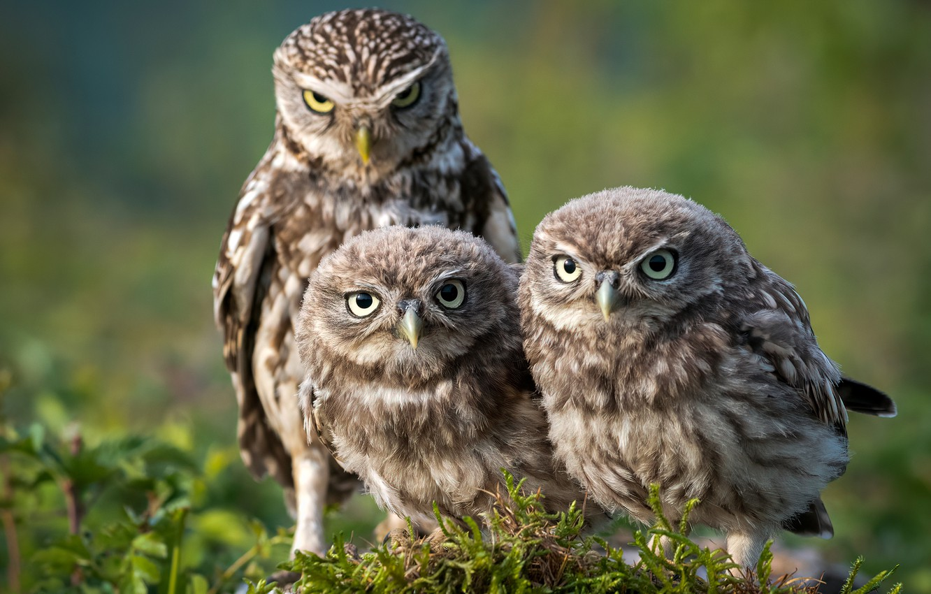 Photo wallpaper look, birds, nature, pose, background, owl, moss, three, owls, trio, Trinity, owl, owls, sychik