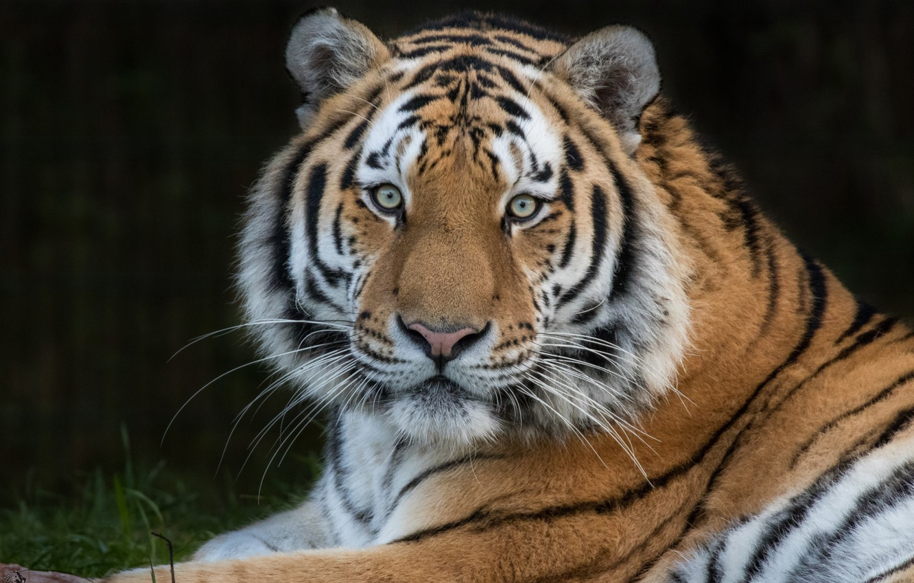 Photo wallpaper tiger, predator, handsome