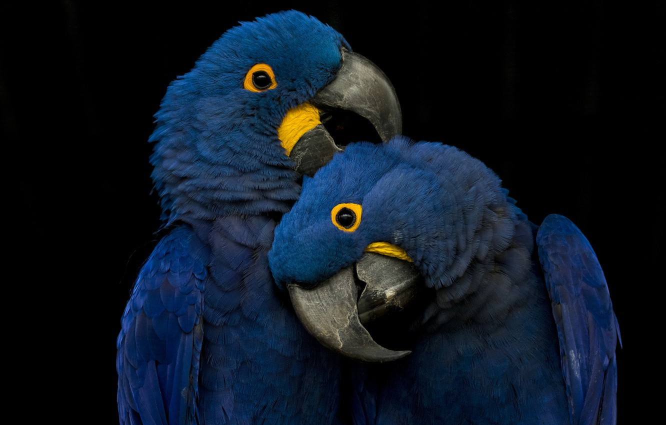 Photo wallpaper blue, playing, parrots, picks