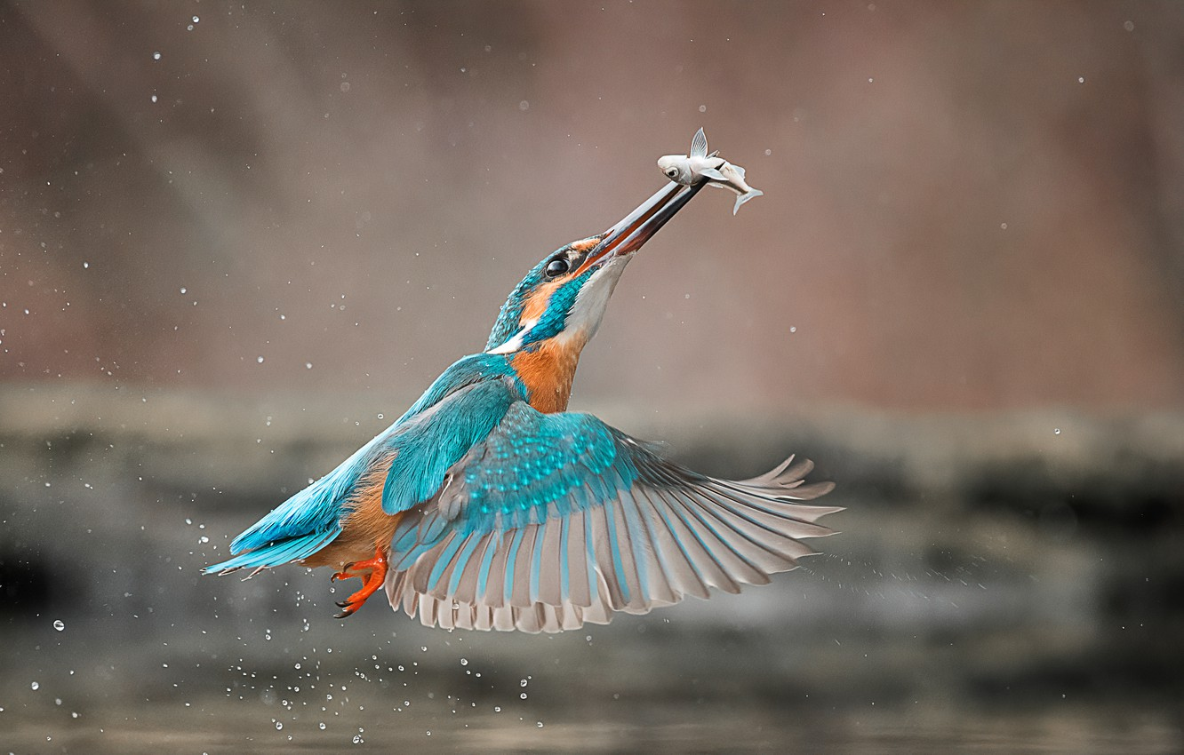 Photo wallpaper drops, squirt, bird, fish, Kingfisher, catch
